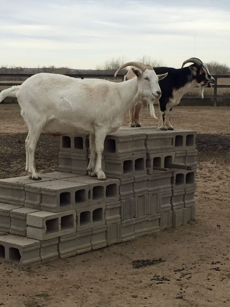 two goats standing atop platform